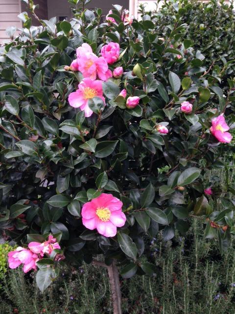 Flowers Camellias